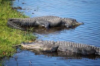 Florida alligators in the wild